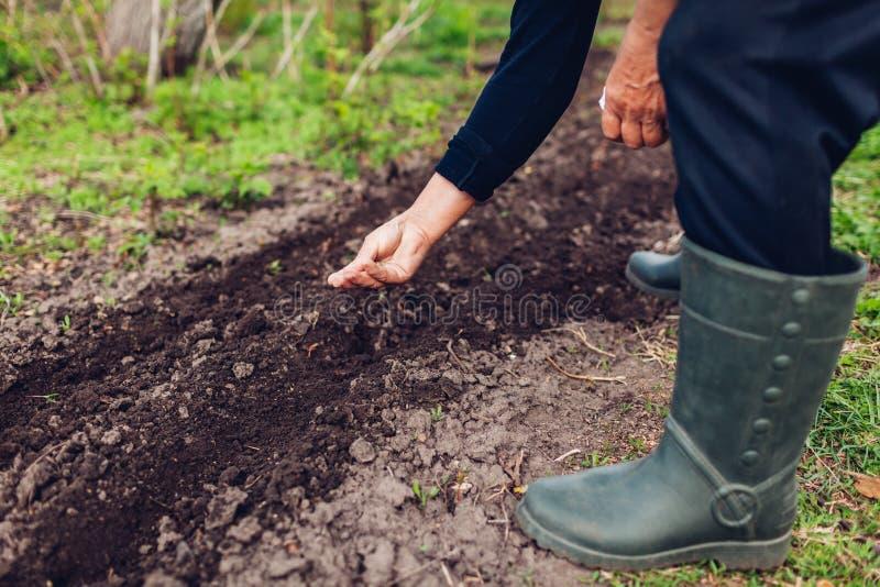 种植在土壤的农夫的手一颗种子 资深妇女播种荷兰芹在春天庭院里 库存图片