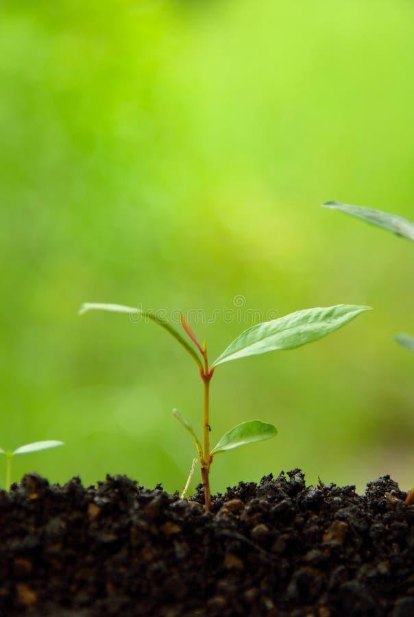 种植在土壤的概念农业种子生长步在绿色自然背景 爱地球概念 免版税库存照片