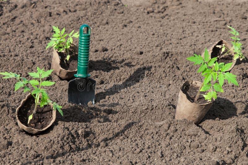 种植在土壤的蕃茄 库存图片
