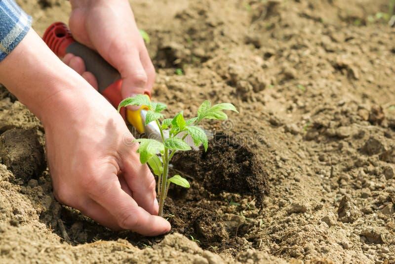 种植在地面的农夫小的蕃茄 免版税库存图片