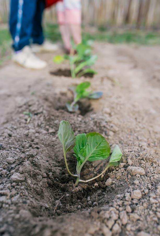 种植在地面的女性花匠圆白菜 图库摄影