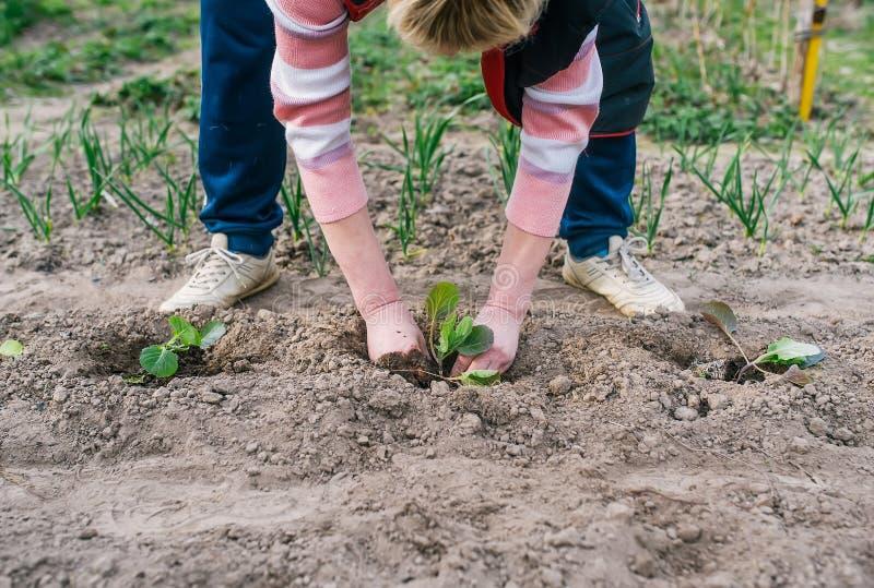 种植在地面的女性花匠圆白菜 库存照片
