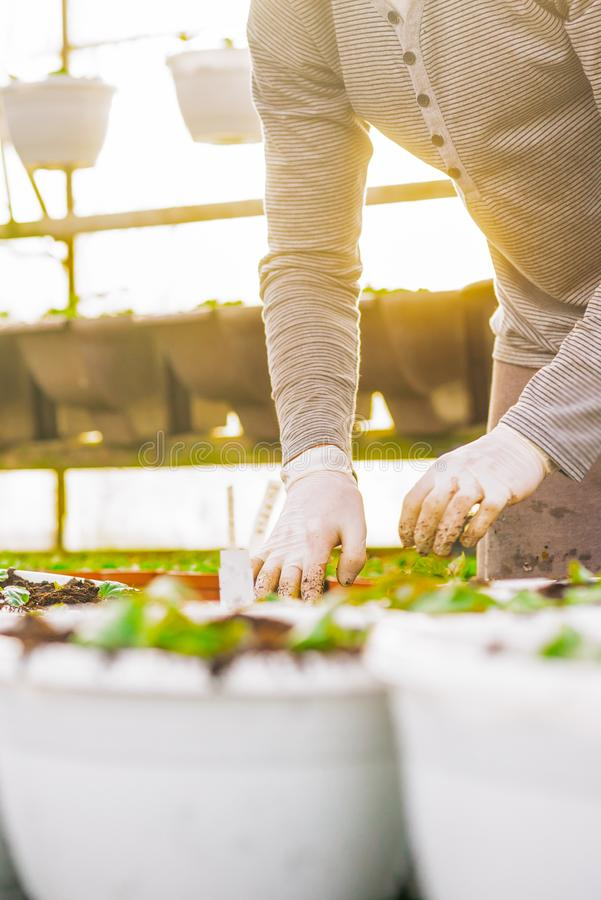 种植在罐的男性植物学家树苗 图库摄影