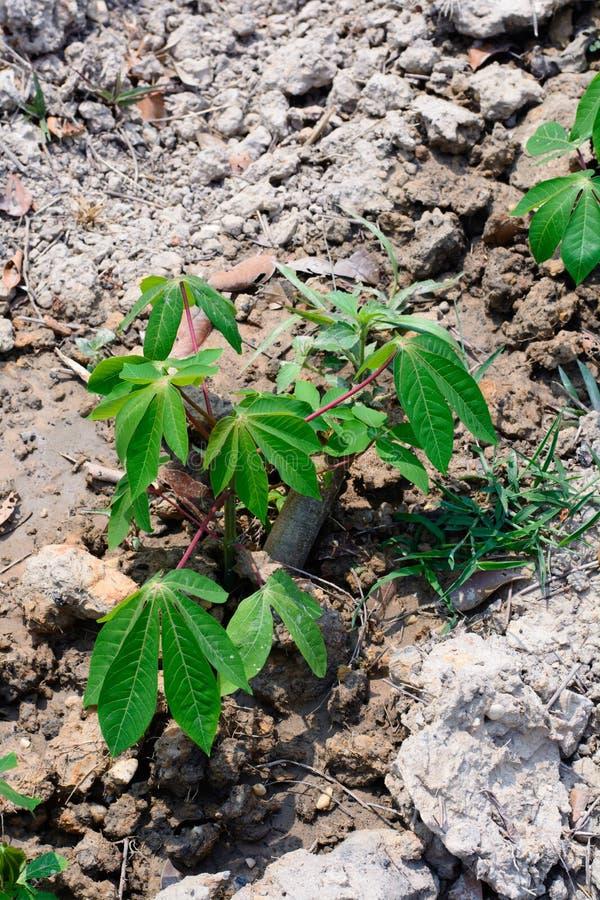 种植在自然树苗的绿色木薯领域 免版税库存照片