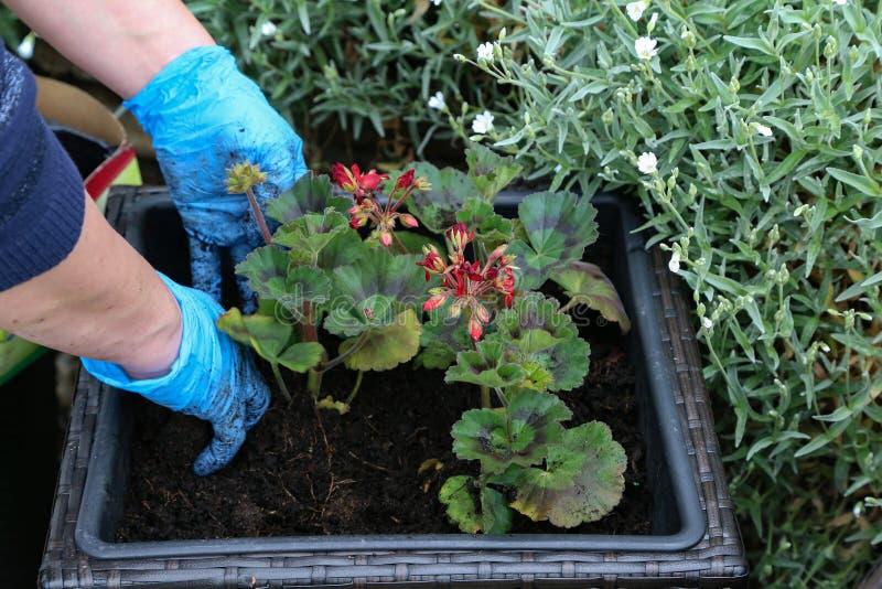 种植在花盆的花在春天 库存图片