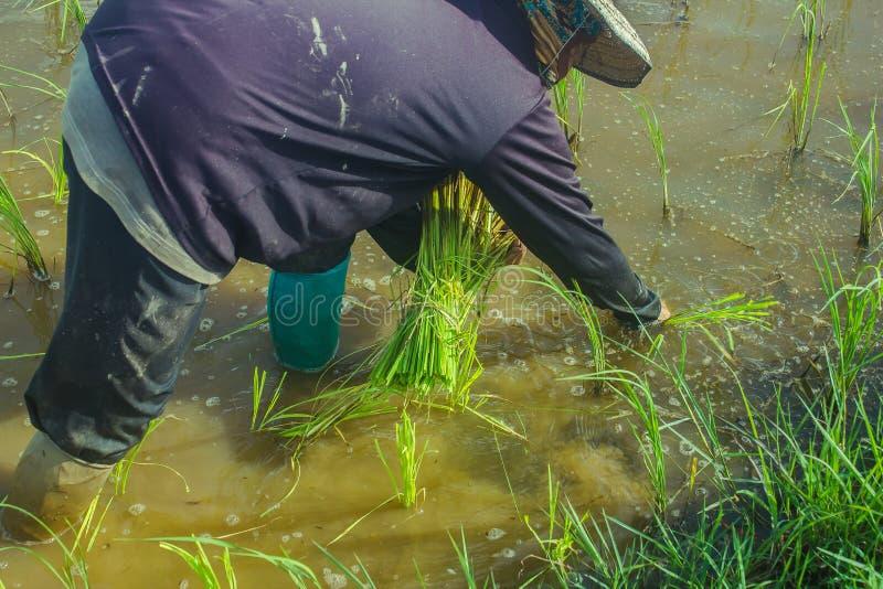 种植在领域的亚裔女性农夫米 免版税库存照片