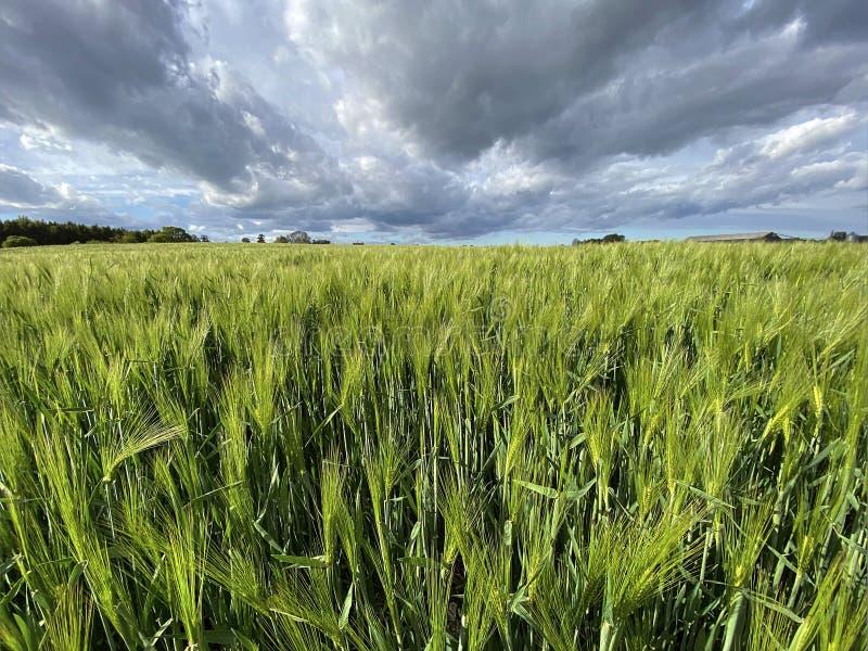 种植大麦的农田 — 约克郡 — 联合王国 库存照片