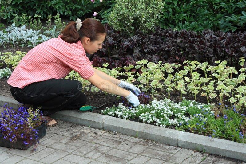种植妇女的山梗菜 免版税库存照片