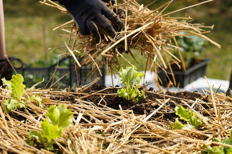 种植幼木和涂秸杆腐土的花匠在新近地被耕的庭院床上 库存图片