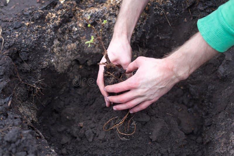 种植幼木 拿着绿色植物的男性手的特写镜头图象 图库摄影