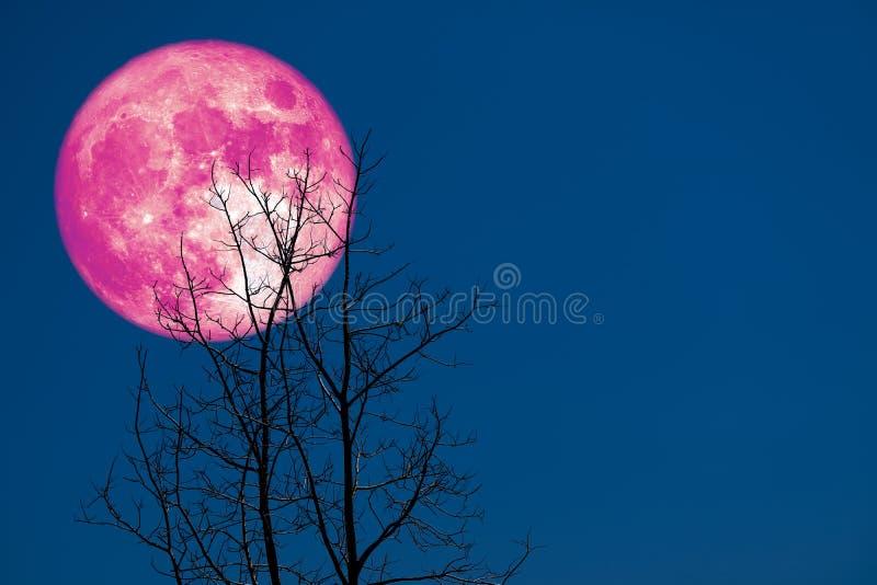 种植月亮后面剪影干燥分支树的超级玉米 库存照片