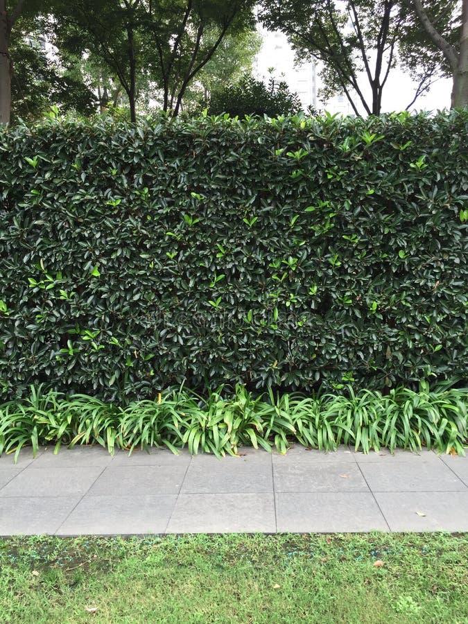 种植树篱的Privet 免版税库存图片