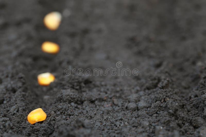 种植甜玉米种子 库存图片