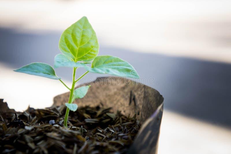 种植生长从土壤袋子,一点树 库存图片