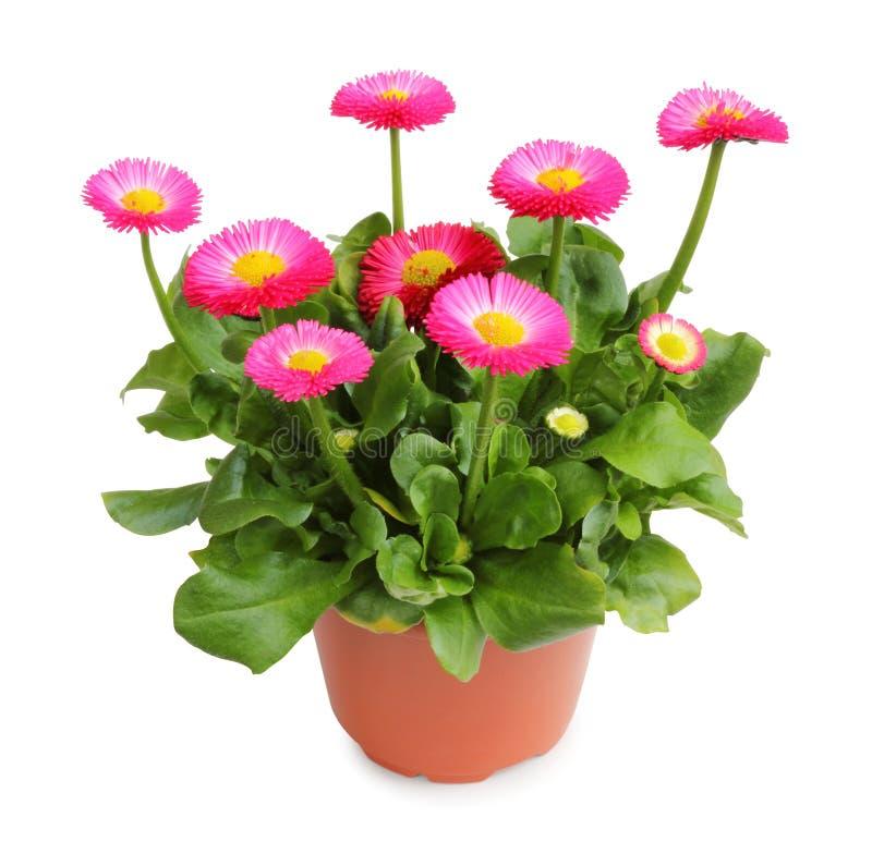 种植的美妙的雏菊罐在春天庭院被隔绝,包括裁减路线,不用树荫 免版税库存图片