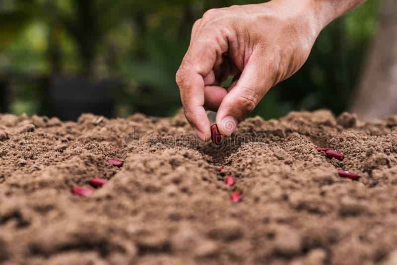 种子_种植种子红豆的农业手. 准备, 耕种.