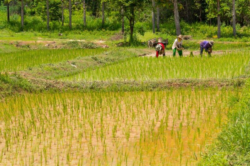 种植米的小组泰国农夫在农村农田里 库存照片