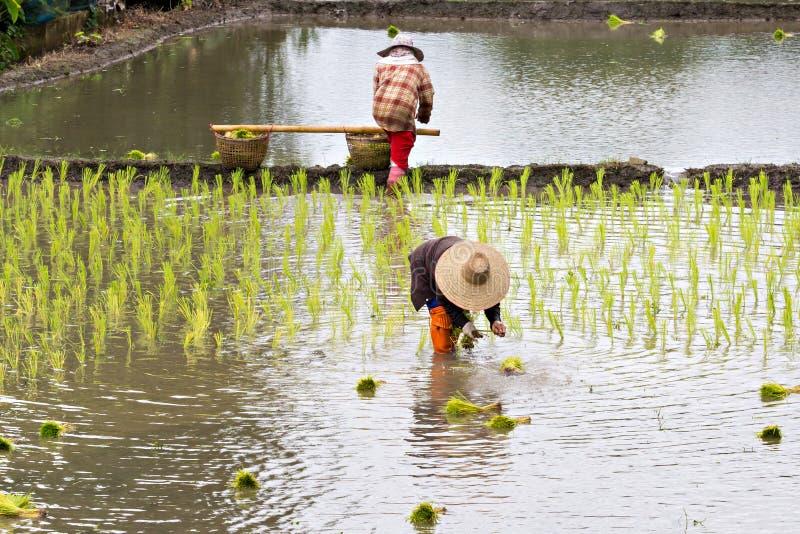 种植米的泰国农夫 免版税库存照片