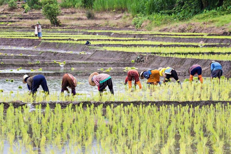 种植米的泰国农夫 库存照片