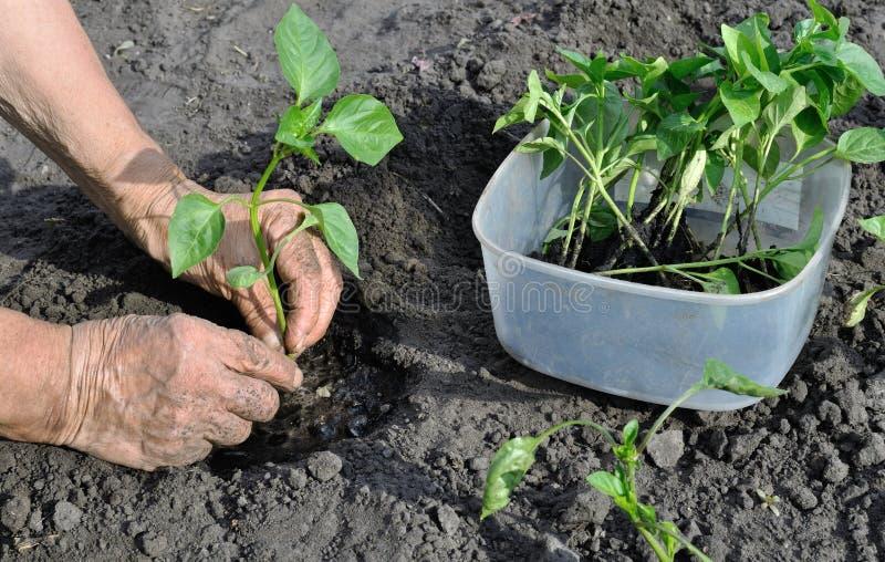 种植胡椒幼木的花匠的手 库存照片
