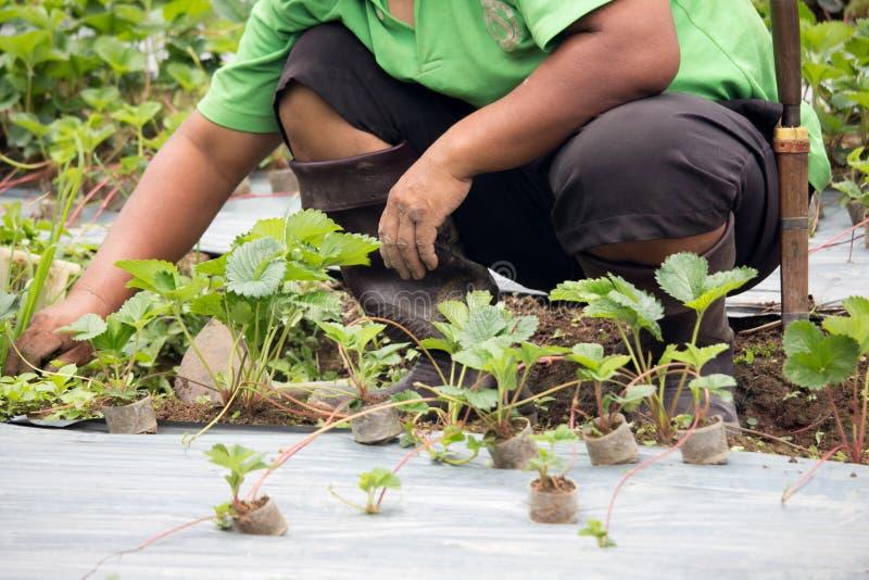 种植草莓生长的一个人 免版税库存照片
