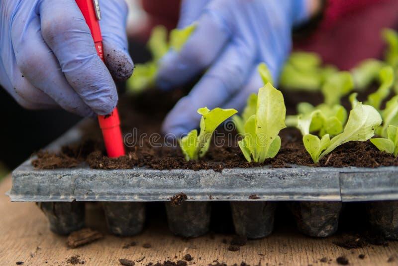 种植莴苣沙拉的年轻幼木农夫 库存图片