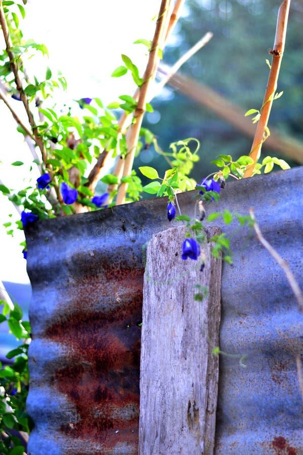 种植菜园/菜在墙壁/锌墙壁上 免版税库存图片