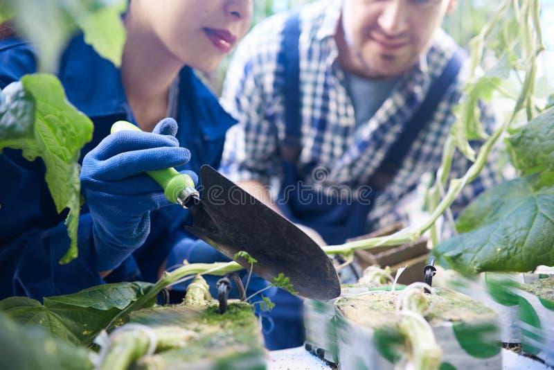 种植菜的两名工作者 免版税图库摄影