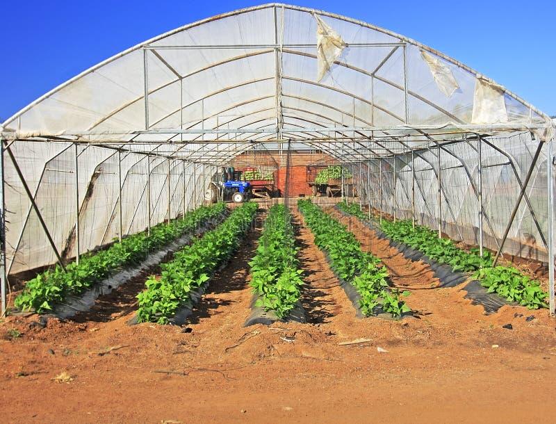 种植蔬菜 库存照片