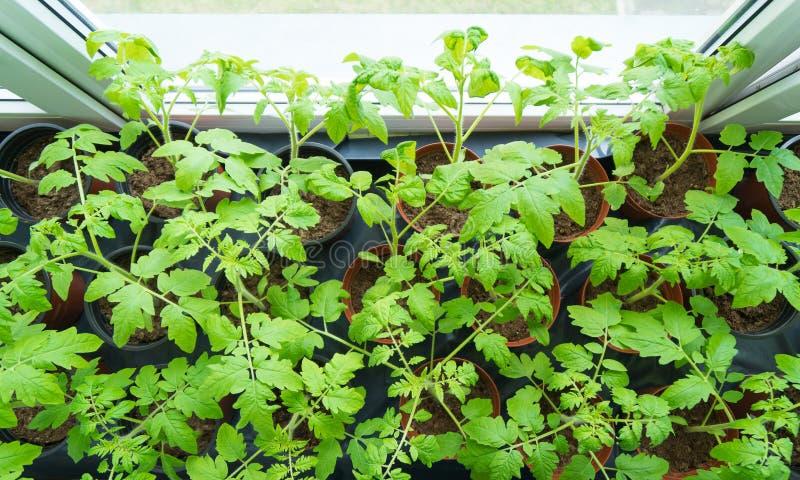 种植蕃茄年轻人 库存图片