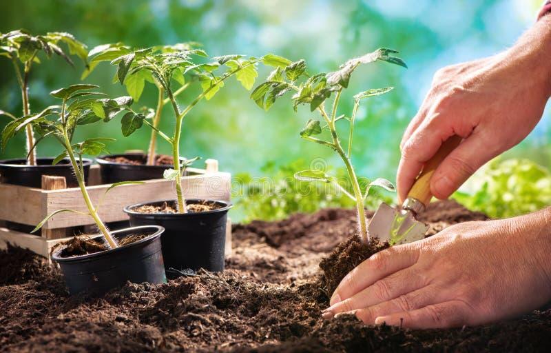 种植蕃茄幼木的农夫在有机庭院里 免版税库存图片