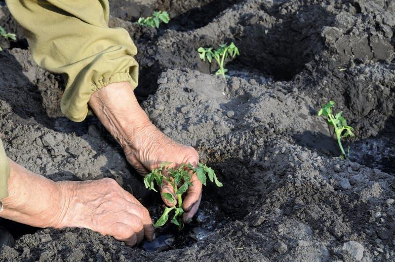种植蕃茄幼木的花匠的手 库存照片
