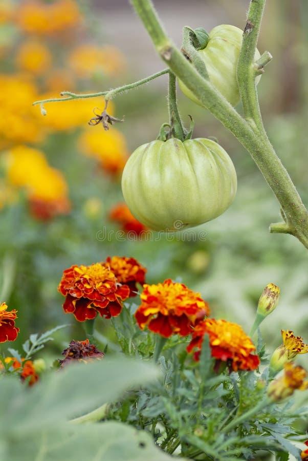种植蕃茄的伴随万寿菊 免版税库存照片