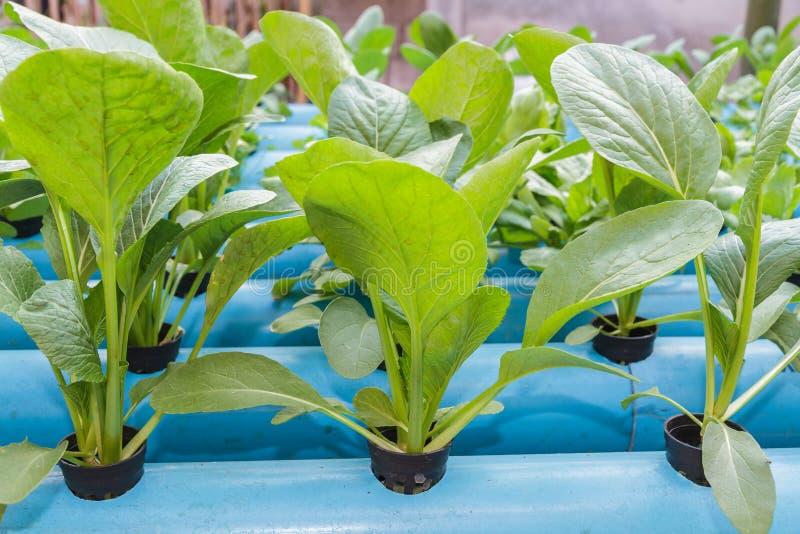 种植水水栽法的大白菜 免版税库存图片