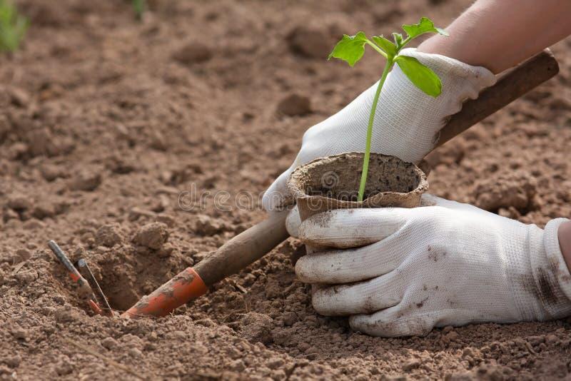 种植黄瓜的幼木花匠的手 免版税图库摄影