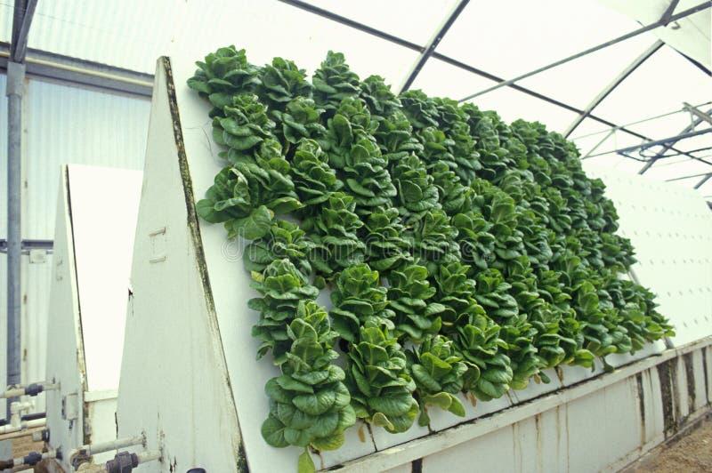 种田在亚利桑那大学环境研究实验室的水耕的莴苣在图森, AZ 免版税库存照片