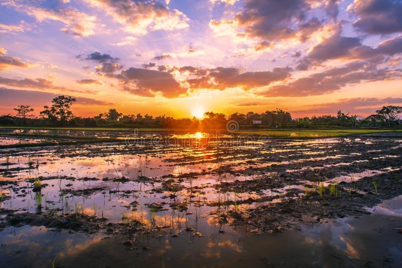 种田在日落的米的英亩 免版税库存图片