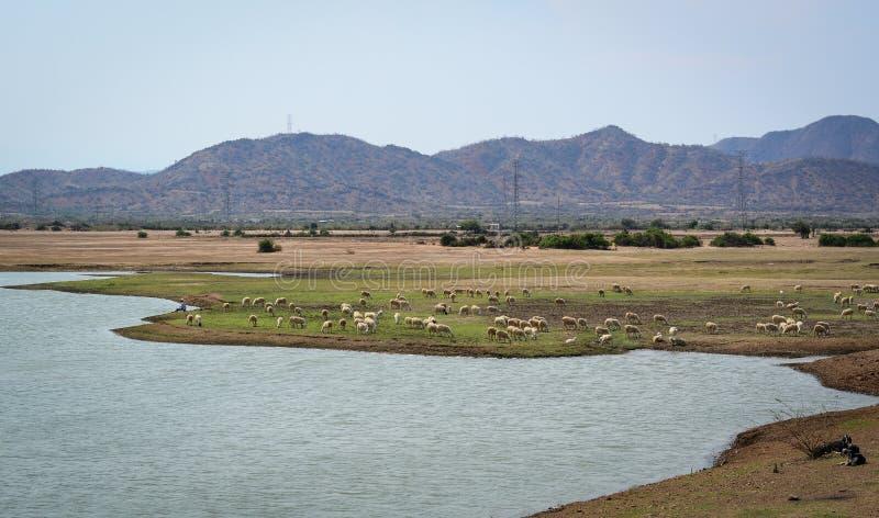种田在藩朗,越南的牛 免版税库存照片