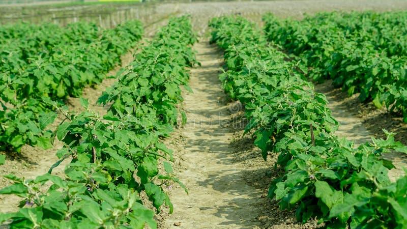 种田在领域的茄子 免版税图库摄影