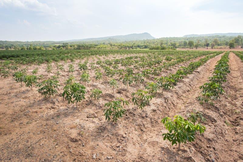 种田木薯的种植园,生长木薯 免版税库存照片