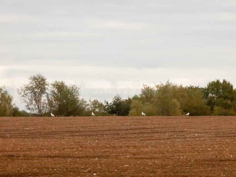 种田被耕的产业的英国棕色农田阴云密布天鸟 库存图片