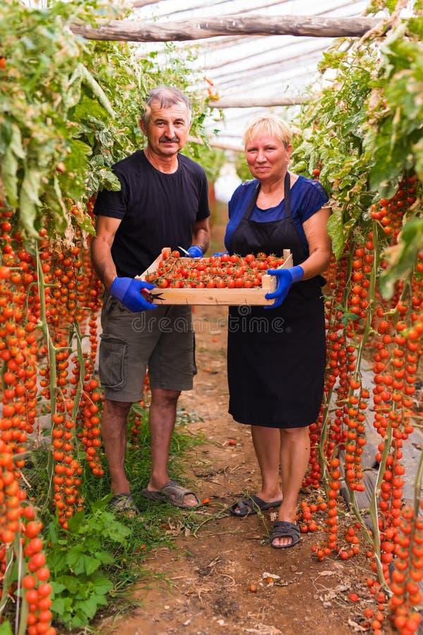 种田,从事园艺,中年和人概念-资深收获西红柿的庄稼妇女和人在农场的温室 免版税图库摄影