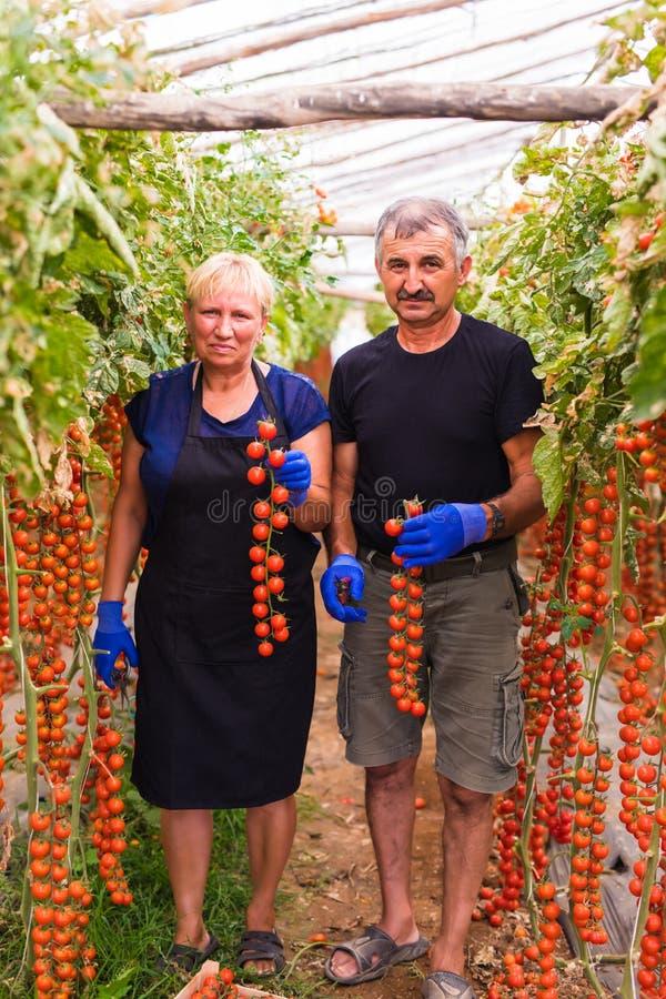 种田,从事园艺,中年和人概念-资深收获西红柿的庄稼妇女和人在农场的温室 库存图片