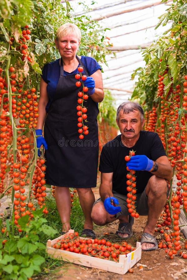 种田,从事园艺,中年和人概念-资深收获西红柿的庄稼妇女和人在农场的温室 库存照片
