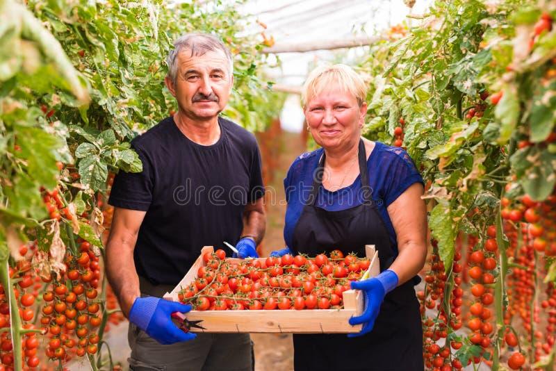 种田,从事园艺,中年和人概念-资深收获西红柿的庄稼妇女和人在农场的温室 免版税库存照片