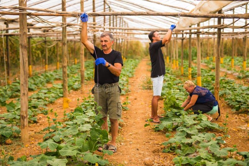 种田,从事园艺,农业和人概念-工作在植物或黄瓜幼木的愉快的家庭在农厂温室 Fami 库存照片