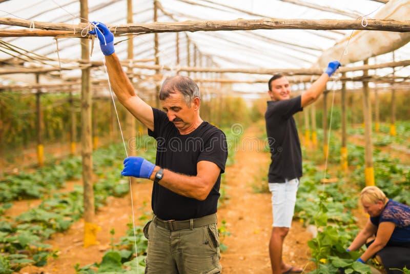 种田,从事园艺,农业,收获和人概念-工作在植物或黄瓜幼木的愉快的家庭在农厂gree 库存照片