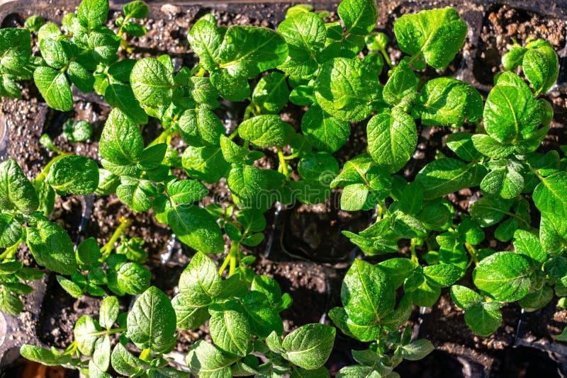 种类土豆幼木 发芽的土豆肿胀 土豆种子绿色射击在种植园的背景的 年轻土豆 库存图片
