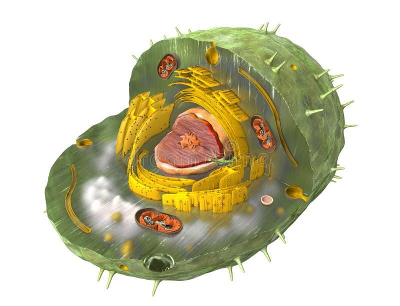 科学地一个人类细胞的内部结构的正确例证,切掉 皇族释放例证