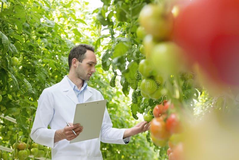 科学家用在温室的剪贴板审查的蕃茄 库存照片